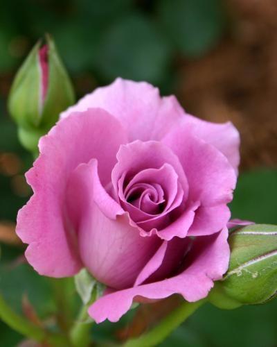 Artinya Beautiful : artinya, beautiful, Warna, Mawar, Banyak,, Artinya, Ngga???, Bunga, Cantik,, Bunga,