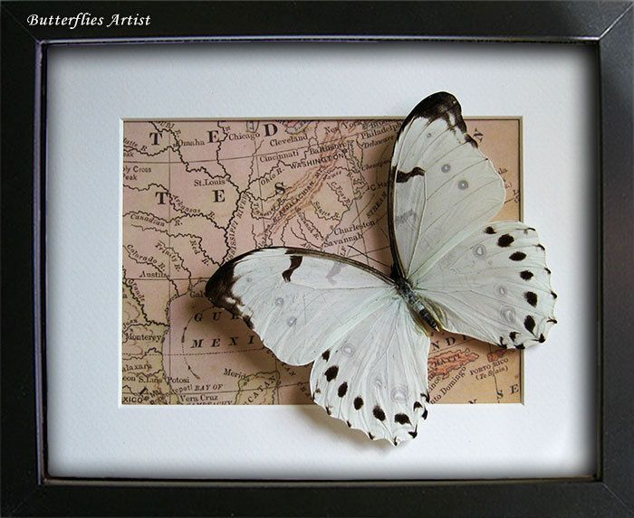 Real Butterfly Archaeoprepona Demophoon On Vintage Map Framed In Shadowbox