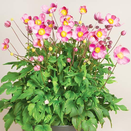 Must Grow New Varieties Of Perennials For 2013 Hardy Mums Plants Perennials