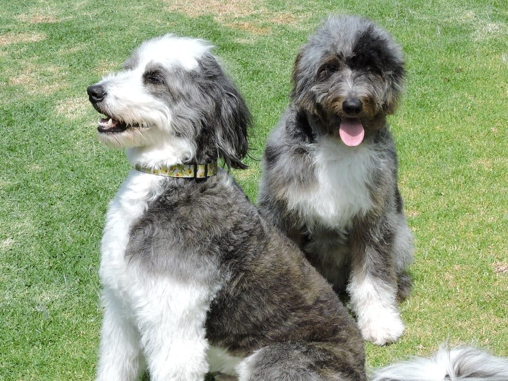 Merle Aussiedoodle And Black White Aussiedoodle Aussiedoodle