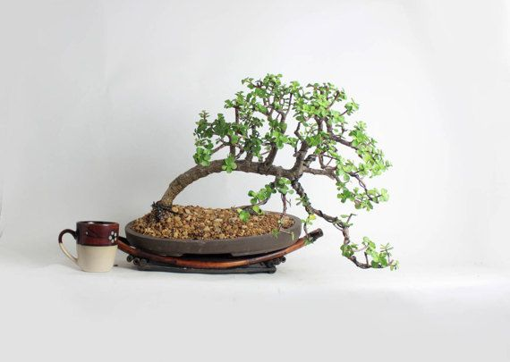 Mature Dwarf Jade bonsai tree Spring'17 Jade