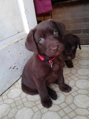 Chocolate Lab Omg Can T Believe Jack Used To Be This Little Aaawww Chocolate Lab Puppies Puppies Lab Puppies