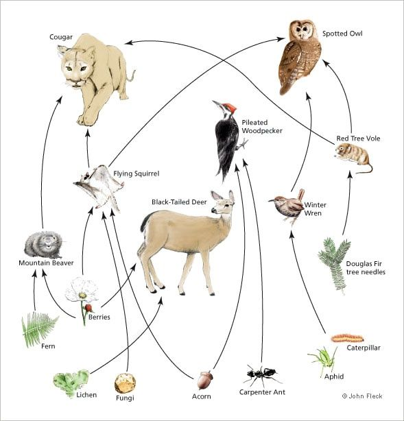 Temperate Rain Forest Food Web Illustration For Heinemann Library