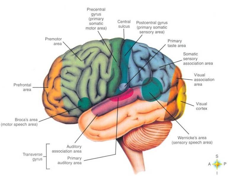 BaileyBio.com: Anatomy & Physiology » 07. Powerpoint - Central ...