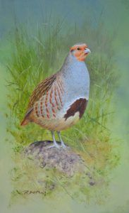 Rodger McPhail Email: ceciliamcphail.fsmail.net  Grey Partridge – Oil on paper-framed Size – 6″ x 10″