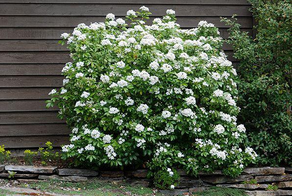 Choisya Ternata Arbuste Persistant Arbuste Persistant