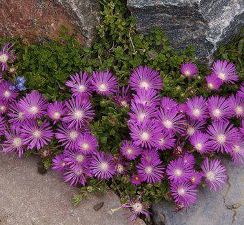 Delosperma 'John Proffitt' | Plants, Delosperma cooperi ...
