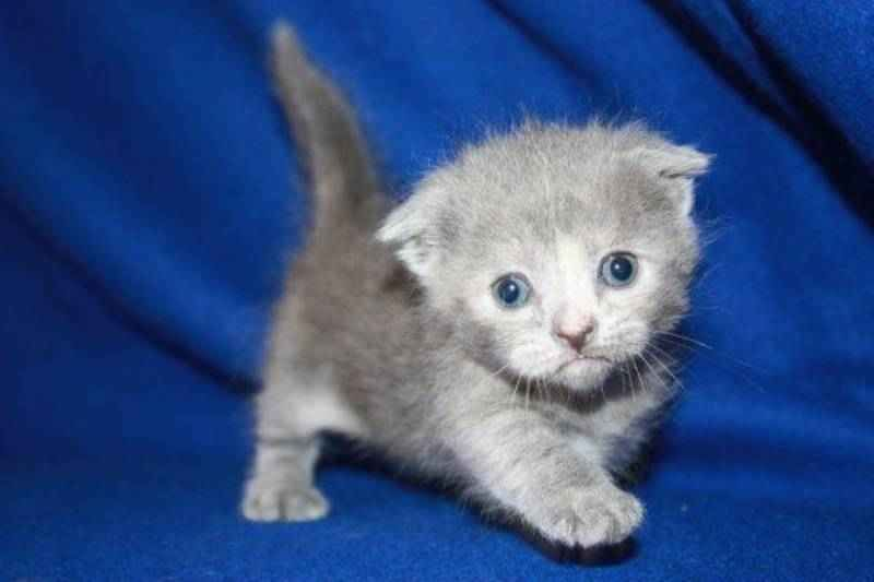 Scottish Fold Munchkin Kitty So Cute Cat Breeds Munchkin Kitten Kittens