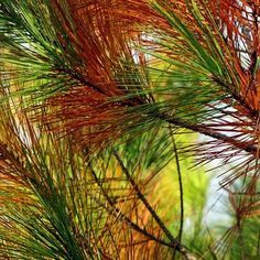 """Like other evergreens, white pine is clearing and opening to the lungs. As a circulatory stimulant, white pine gets blood moving, releasing heat from the chest or sinuses, and """"increases oxygen uptake into the cells, and carbon dioxide release, so it is vivifying and cleansing"""""""