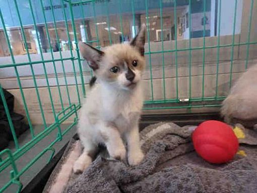 Chatsworth, CA Siamese. Meet A1784215 a Cat for Adoption
