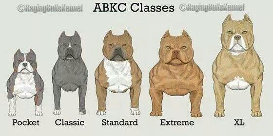 Bully Standards Pitbull Terrier Bully Breeds Dogs American Pitbull Terrier