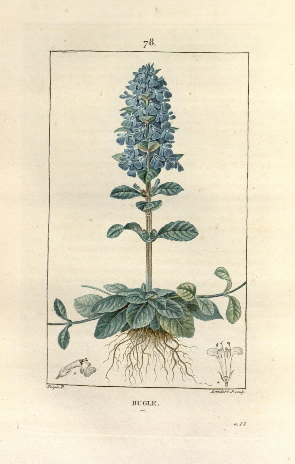 t. 2 - 1828-32  --  Flore médicale / - Biodiversity Heritage Library