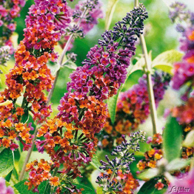 Buddleja Davidii Pflanzen Schmetterlingsflieder Schone Blumen