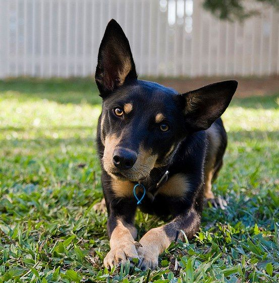 Never find a breed with as much focus as the Kelpie