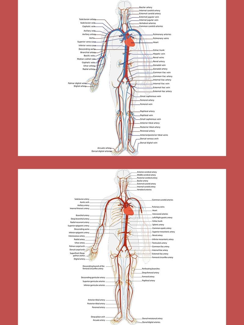 Advanced Human Biology Charts And Diagrams With Private Label Rights