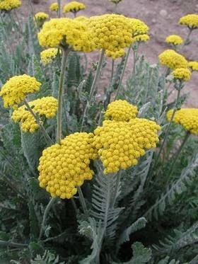 Fernleaf Yarrow Deep Gold Flowers With Silver Foliage Flowers Perennials Plants Perennial Plants