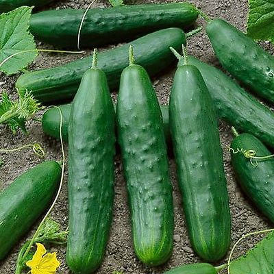 Cucumber Straight Eight 63 Days There Is Nothing More 400 x 300