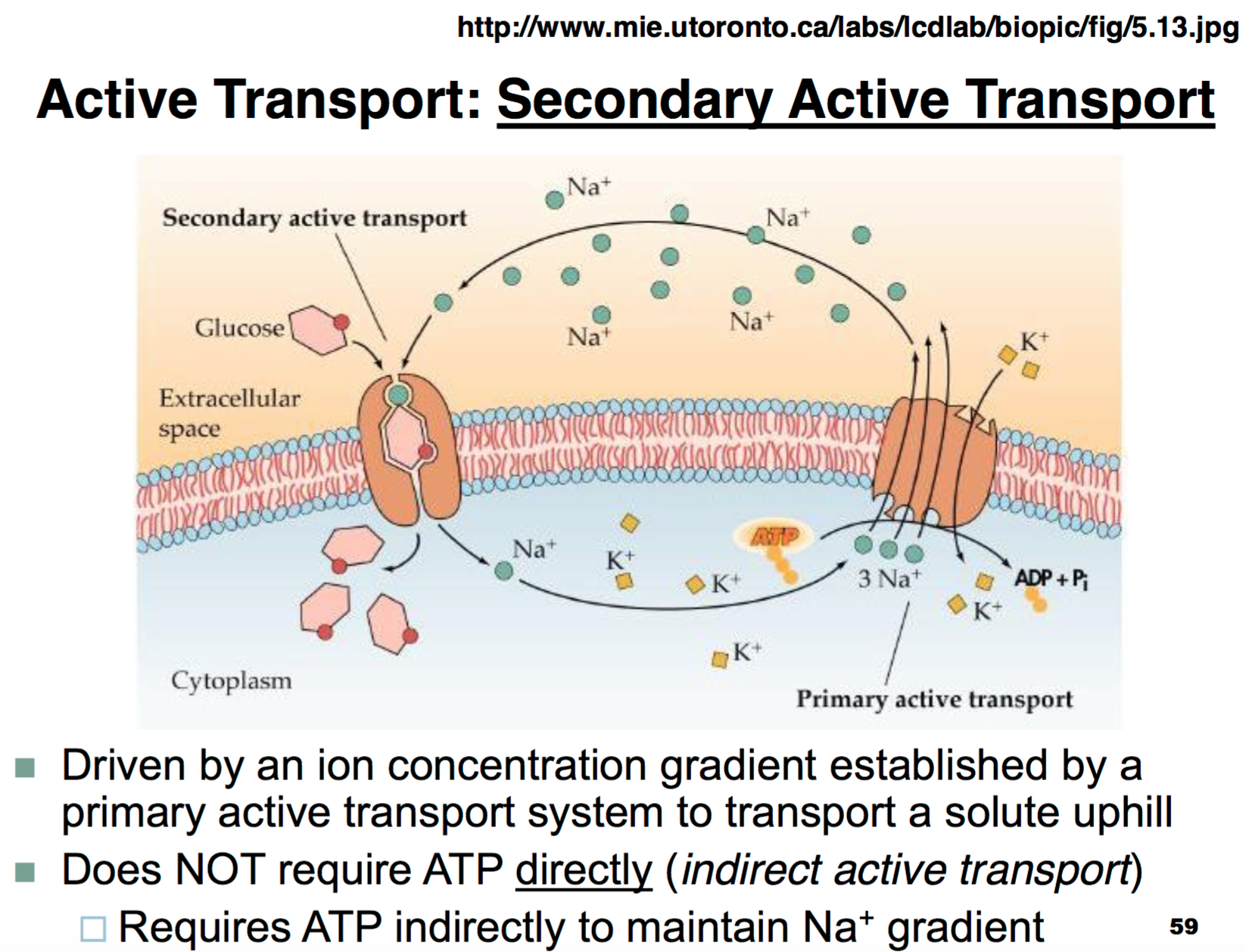 Image Result For Secondary Active Transport