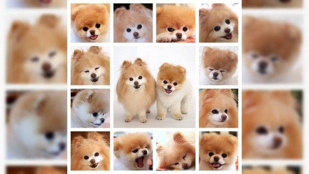 Boo El Perro Más Lindo Del Mundo Será El Perro Más Lindo Del Mundo Boo El Perro Más Lindo Perros Lindos