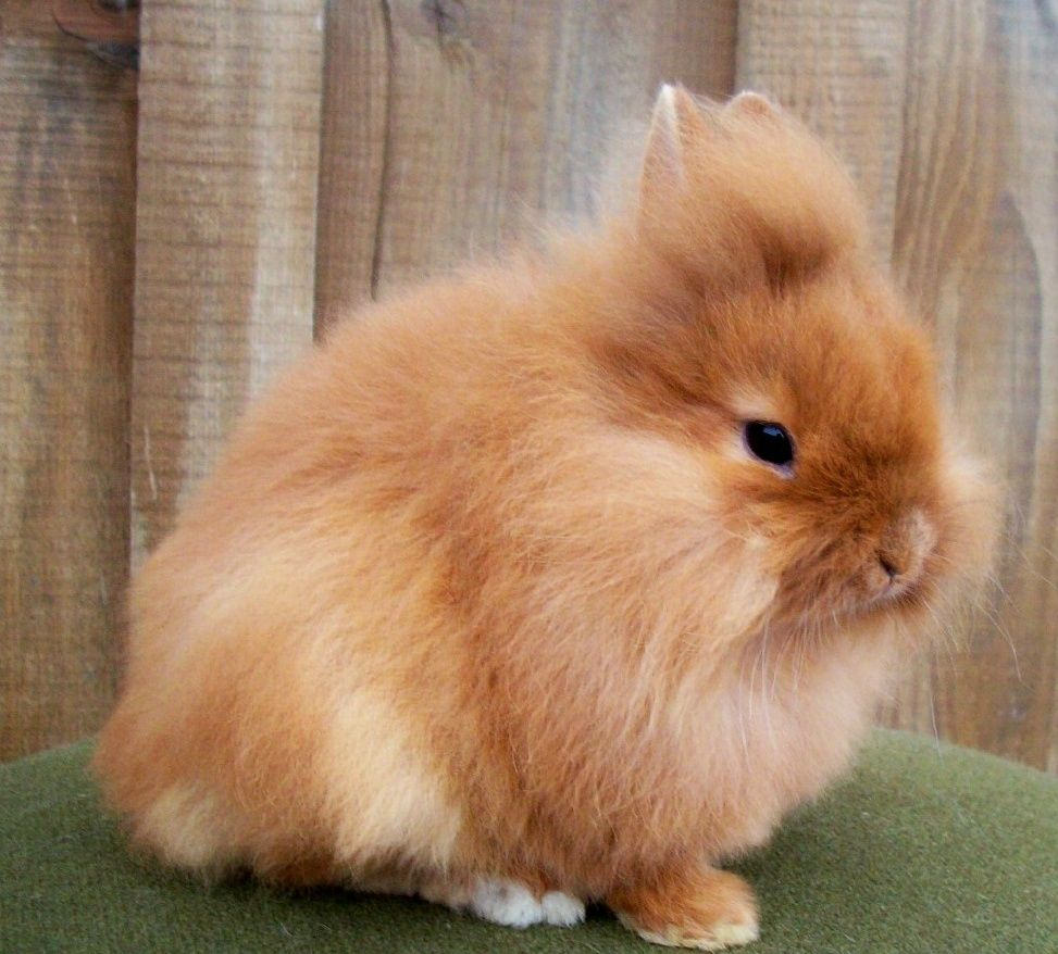 Different Types Of Rabbits Breeds With Pictures Image 2 Rabbit Breeds Different Types Of Rabbits Rabbit Types