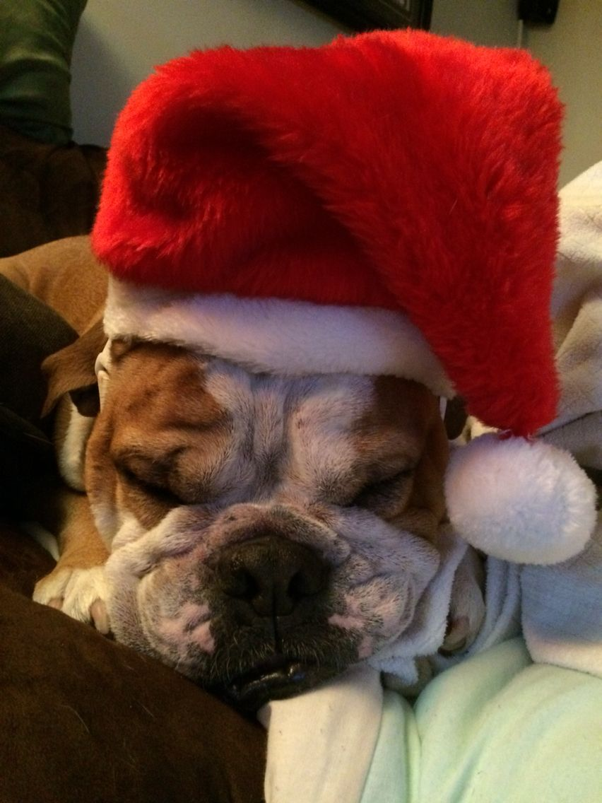 Ho Ho No English Bulldog English Bulldog Bulldog French