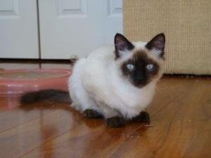 Adopt Webster On Petfinder Ragdoll Cat Seal Point Siamese Pet Finder