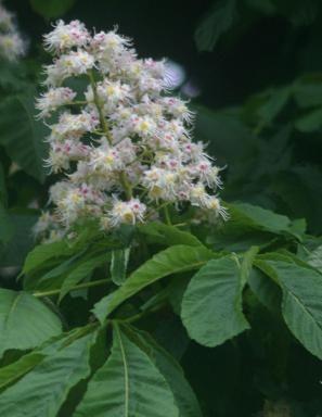 Kasztanowiec Kasztan Aesculus Drzewa I Krzewy Herbs Plants Mother Nature