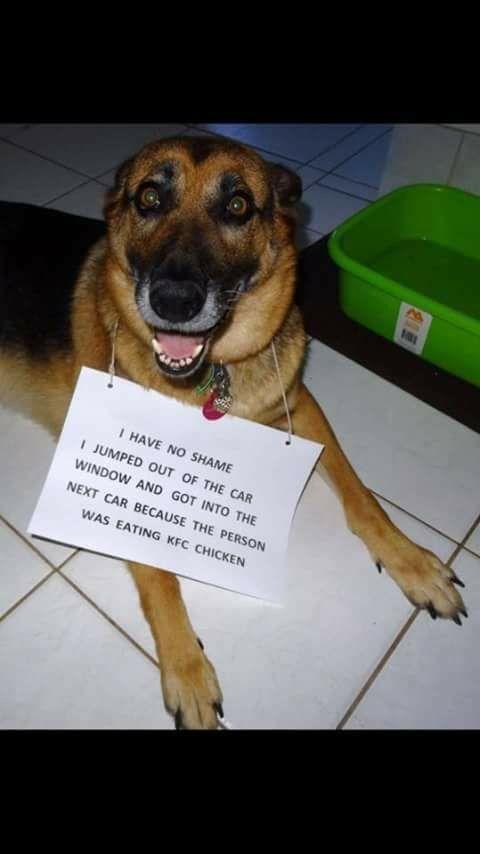 No Shame Funny Dog Memes Funny Animals Cute Funny Animals