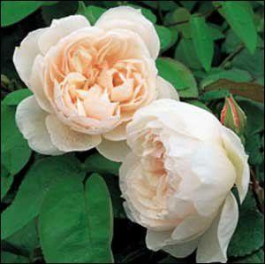 generous gardener climbing roses