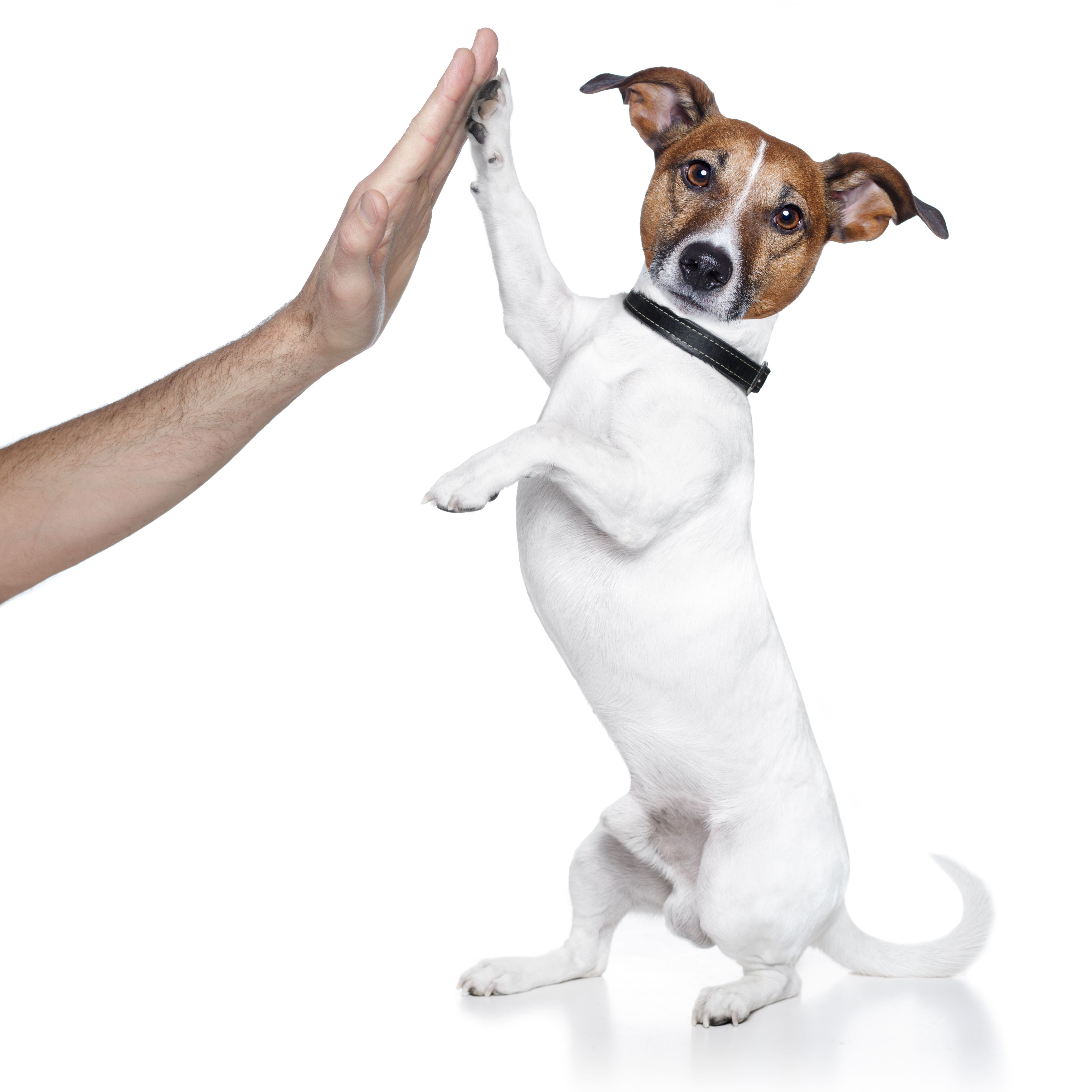 Learn How To Easily Train Your Puppy Dog To Sit Heel Down And Even Cross Its Paws Training Your Dog Dog Training Dog Training Tips