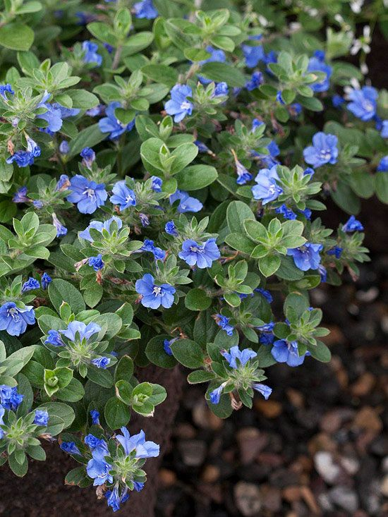 Blue My Mind Evolvulus Never Stops Blooming Even In