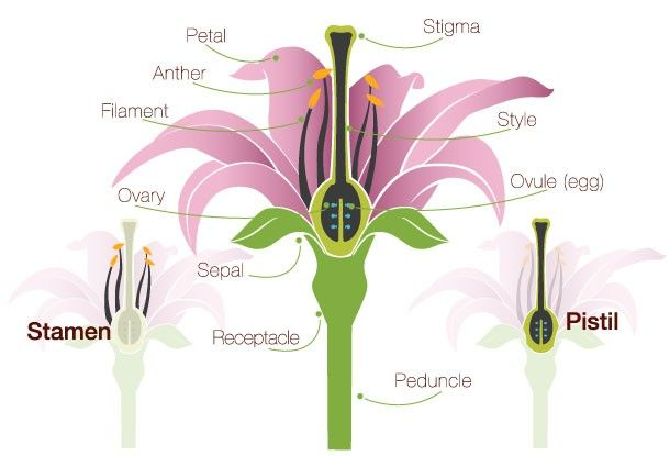 Flower Anatomy The Parts Of A Flower Proflowers Blog Parts Of A Flower Flower Anatomy Pistil Flower