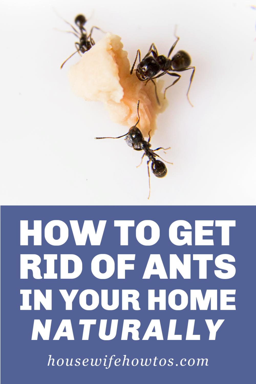 4a173a6930c48da50fcd23e76b5de924 - How To Get Rid Of Ants Safely Around Pets