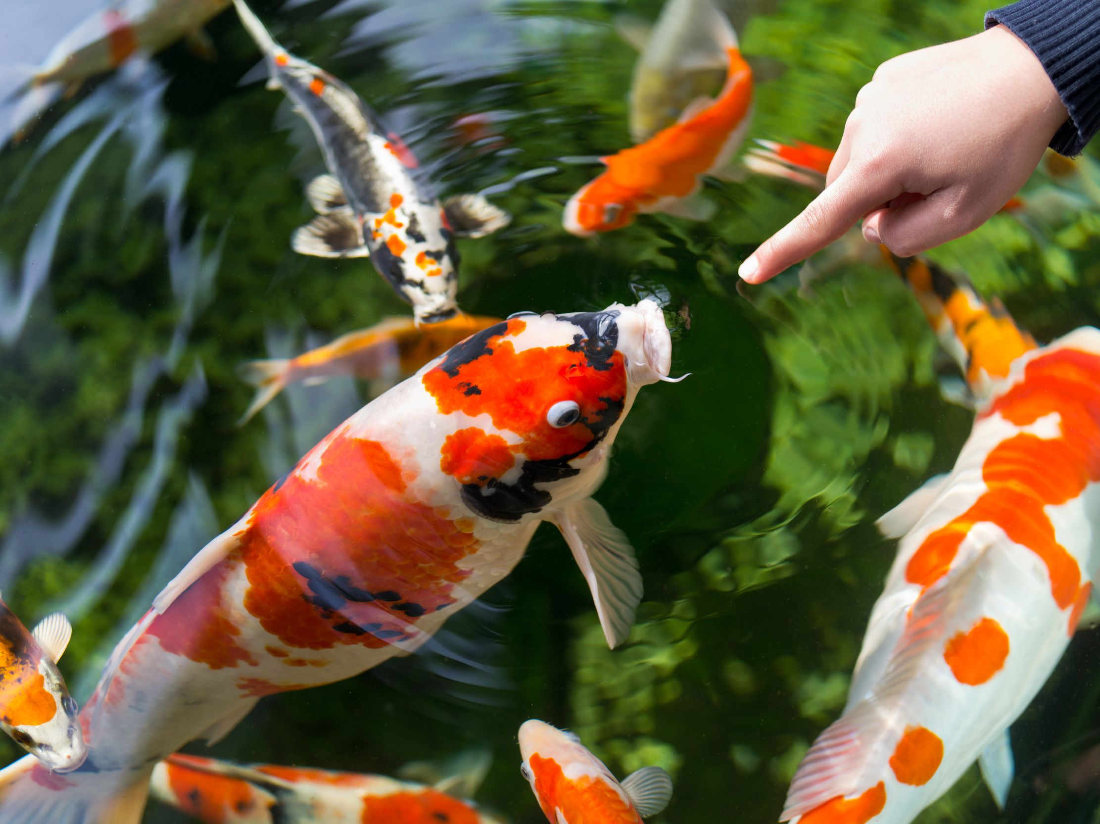 1000 Images About Koi Fish Ponds On Pinterest