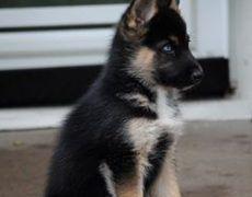 Gerberian Shepsky German Shepherd Siberian Husky Mix Facts