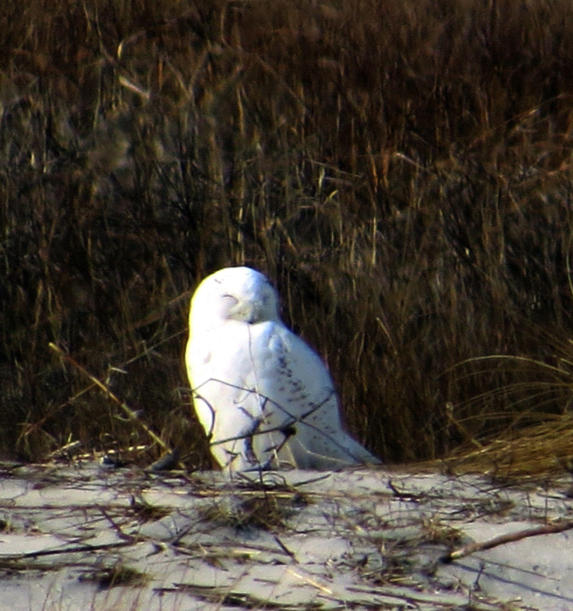 Male snowy enjoying a snooze in the sun. Forsythe NWR, NJ.