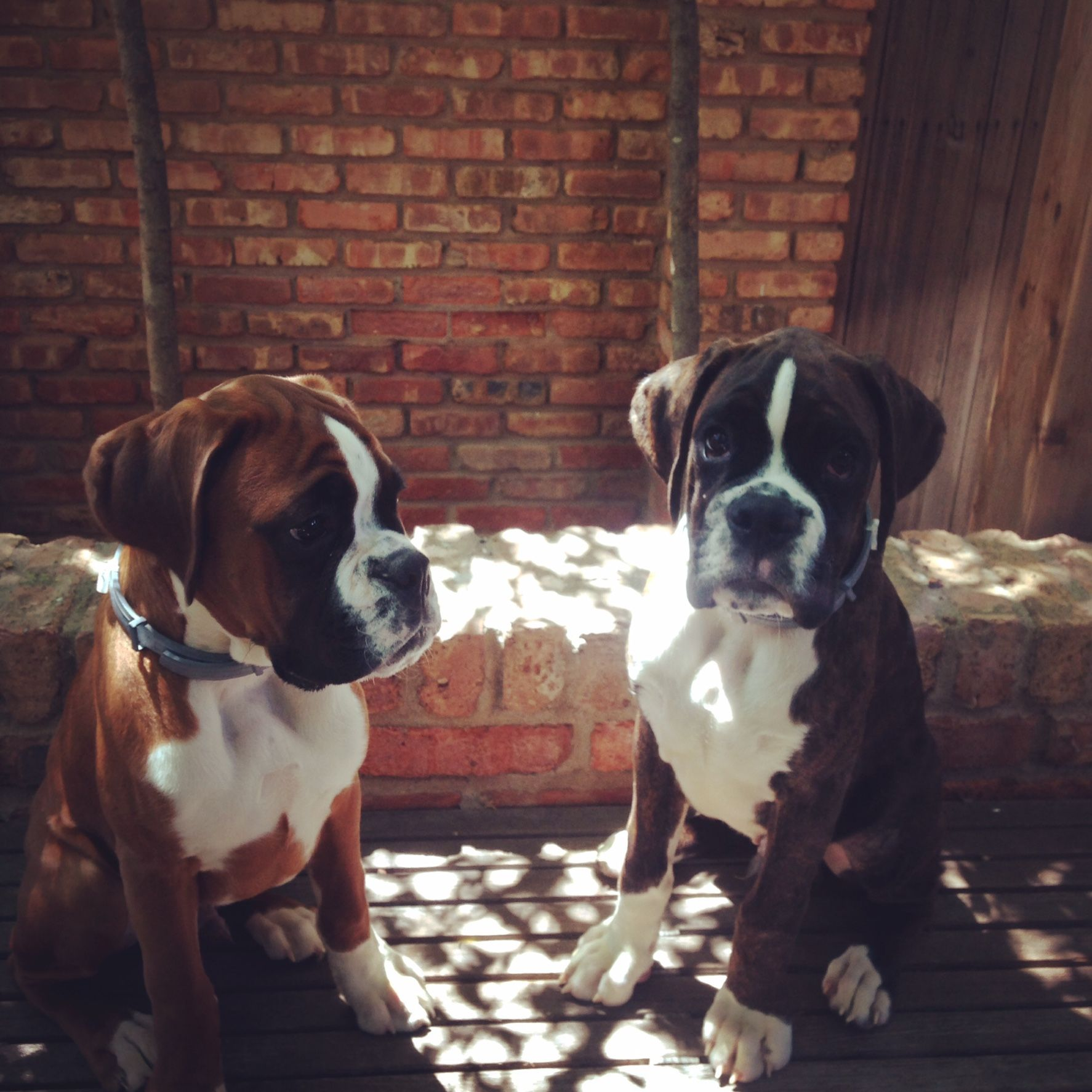 """My wife said """"I pretty much think they are the best thing ever"""" when discussing boxers. I got her Hefe and Stout for our 10 year anniversary."""