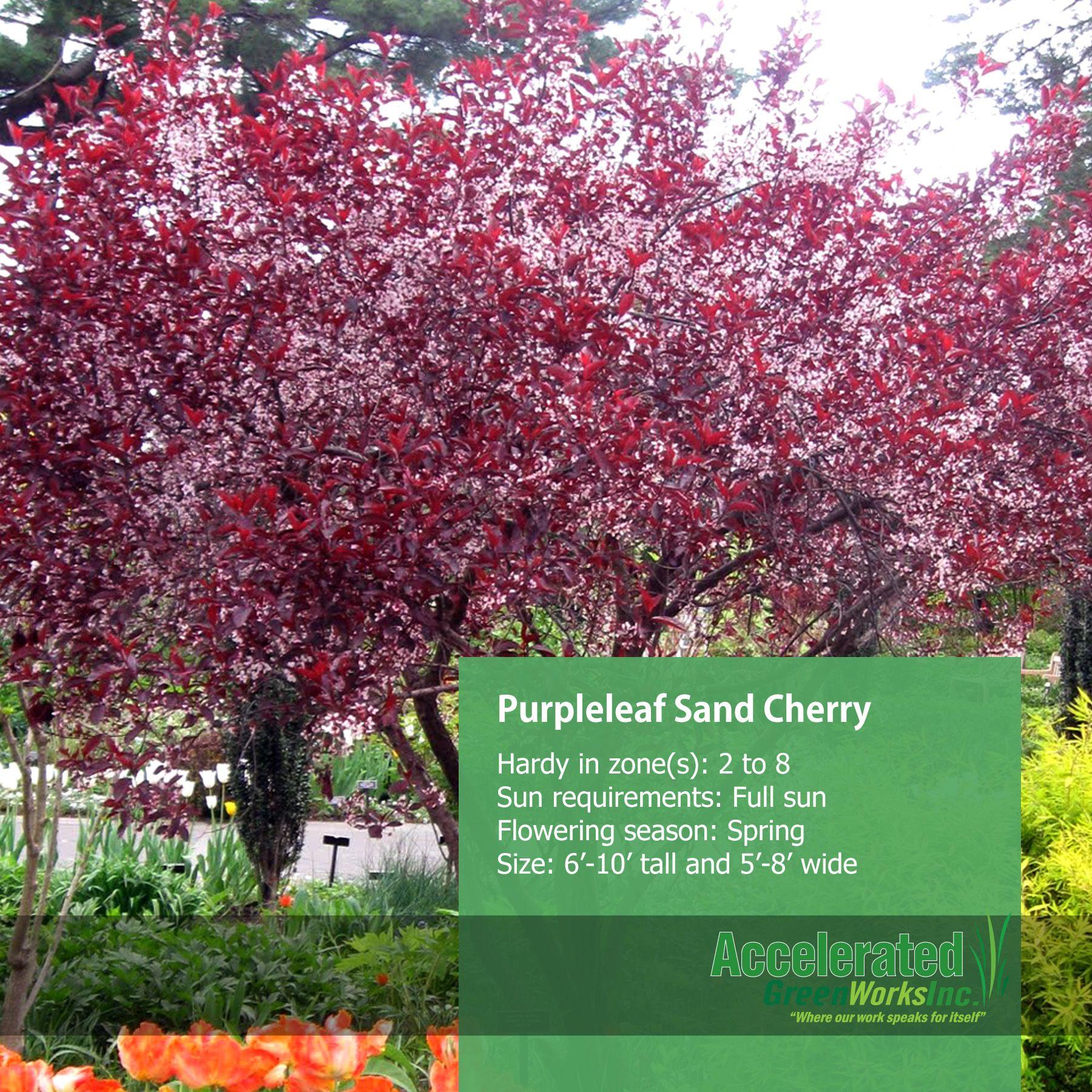 purpleleaf sand cherry shrubs