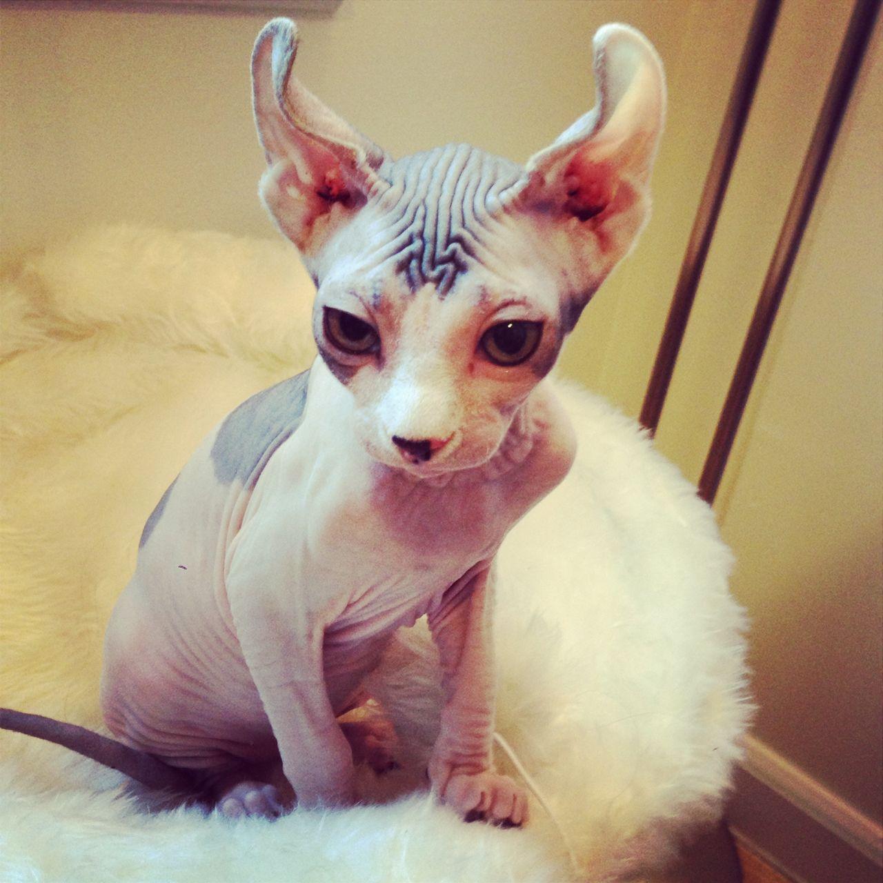 Dobby The Elf Cat Photo Elf Cat Hairless Animals Hairless Cat