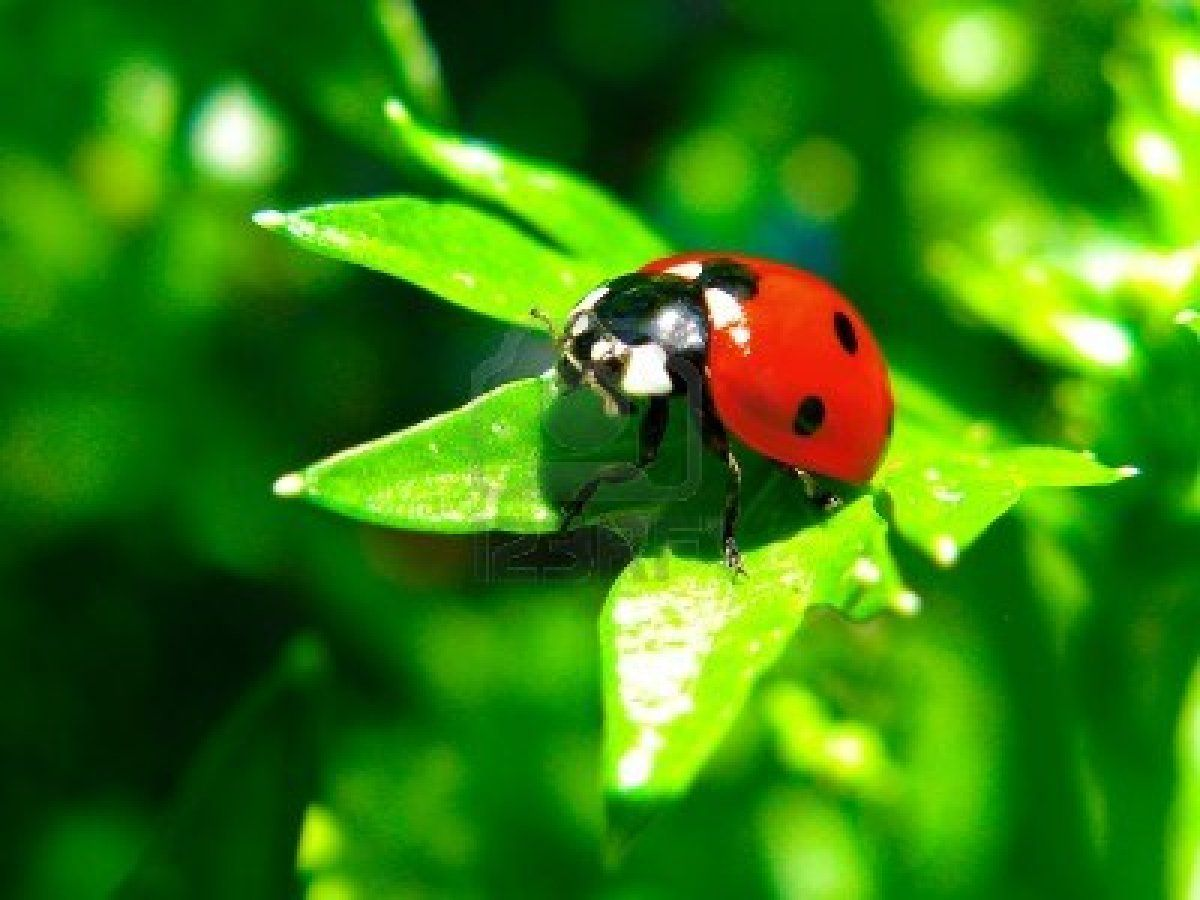 red lady bug - Google Search