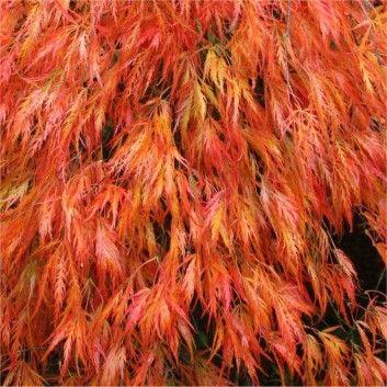 Acer Palmatum Dissectum Orangeola Plant Life Pinterest Acer