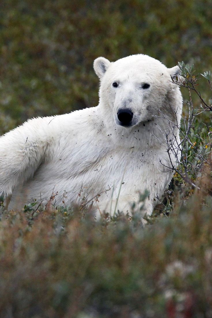 Everything You Need To Know About A Trip To See The Polar Bears In Churchill, Man.