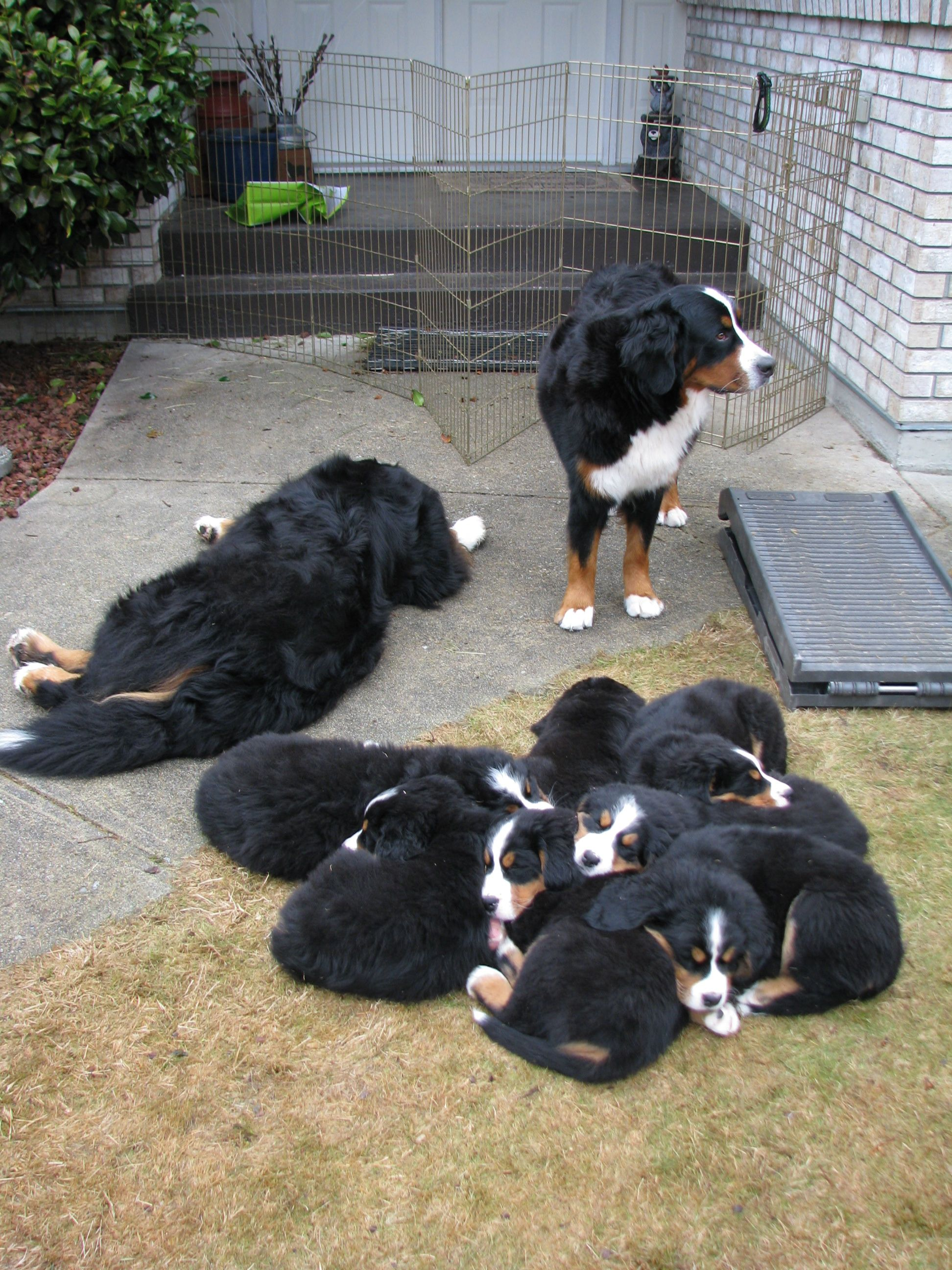 Puppy Pile Burmese Mountain Dogs Bernese Mountain Dog Burnese Mountain Dog