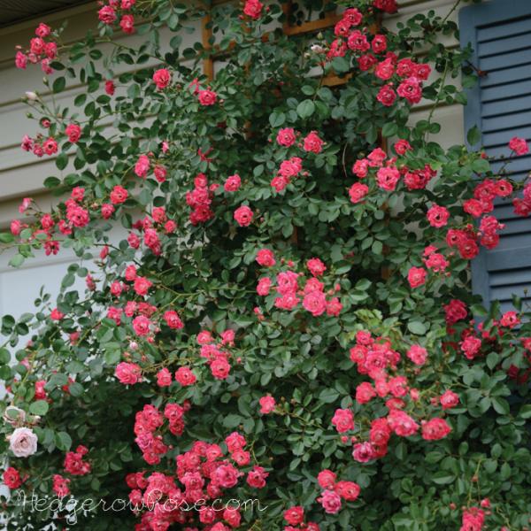 Rose flower carpet pink garden pinterest gardens rose flower carpet pink mightylinksfo