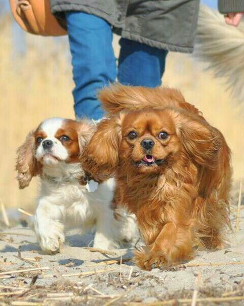 dogs, Cavalier King Charles Spaniel - Out for a walk
