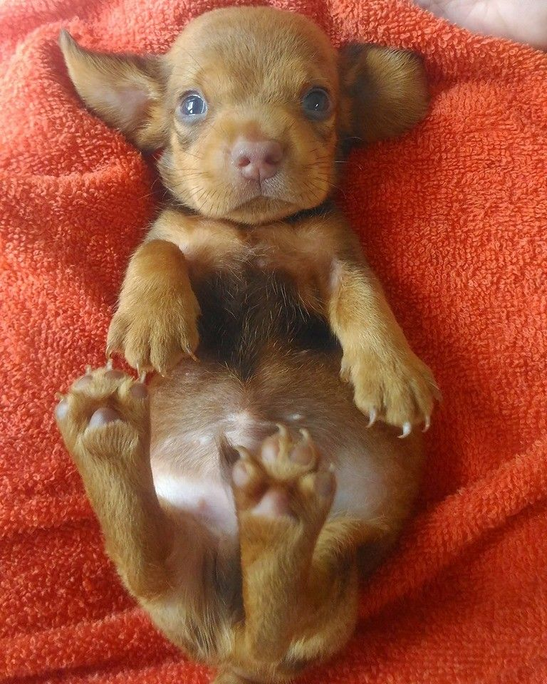 How To Care For A New Dachshund Puppy Dachshund Bonus