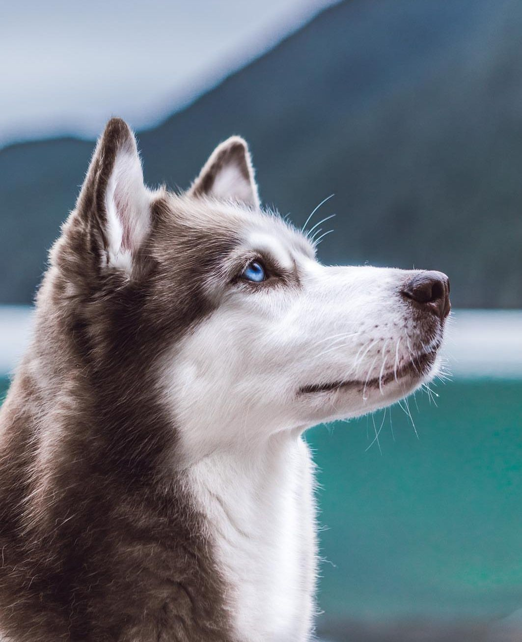Aesthetic A N I M A L S Image By Faith Vongunten Siberian Husky