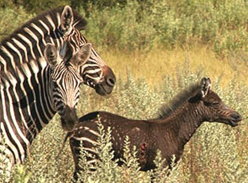 Best Psuedomelanistic Zebra Foal Combination Of Abundism And 400 x 300