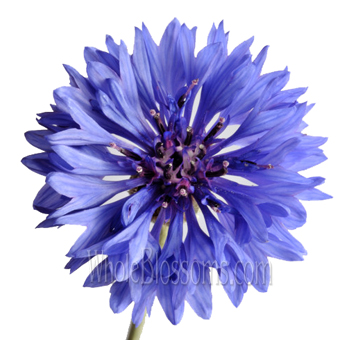 Wholesale Blue Cornflower For Weddings Flower Drawing Cornflower Sunflower Illustration