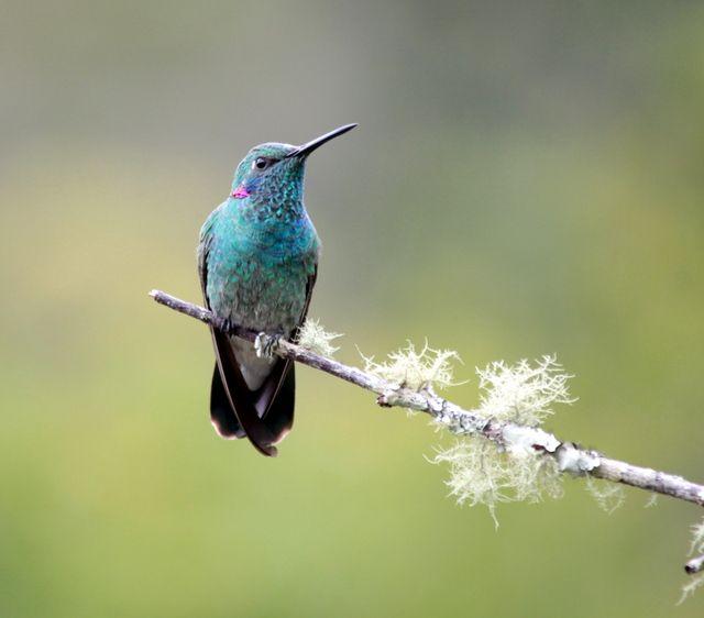 Foto beija-flor-de-orelha-violeta (Colibri serrirostris) por Marcia Carvalho | Wiki Aves - A Enciclopédia das Aves do Brasil